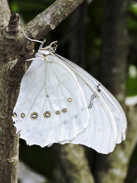 Photograph - White Morpho Butterfly by Penny Lisowski