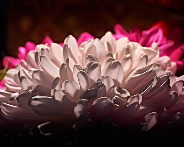 Photograph - White Mums by Charles Muhle
