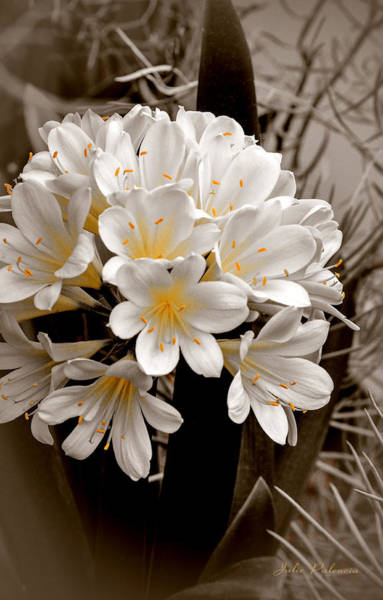 Clivia Wall Art - Photograph - White Natal Lily Splash Of Color by Julie Palencia
