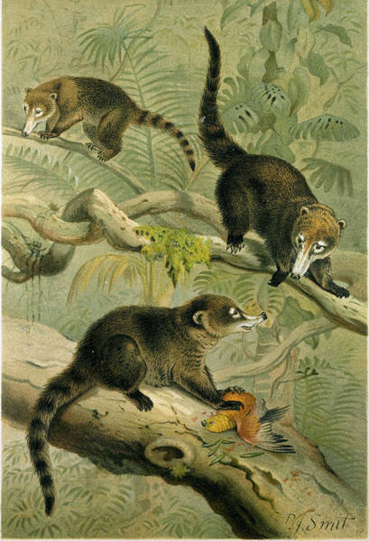 Wall Art - Drawing - White-nosed Coati by English School