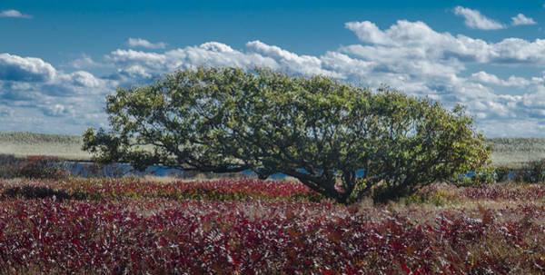 White Oak In Chilmark Art Print