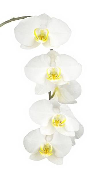 Photograph - White Orchid-4791 by Rudy Umans