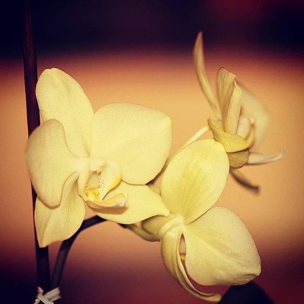 Macro Photograph - White Orchid by Luisa Azzolini
