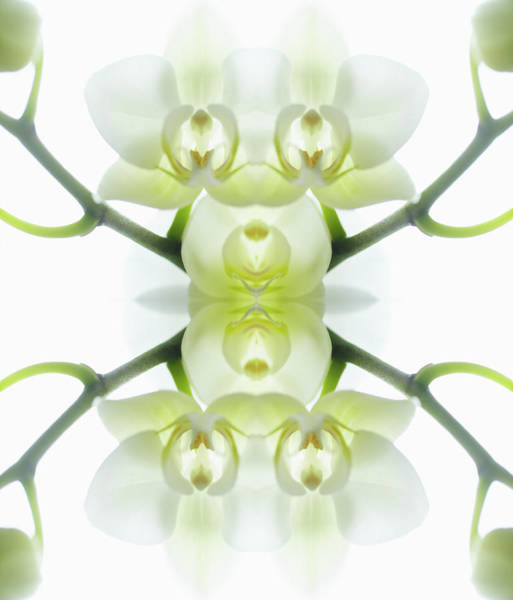 White Orchid With Stems Art Print by Silvia Otte