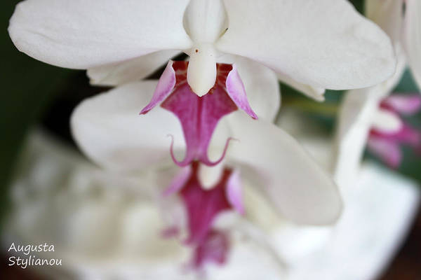 Photograph - white Orchid.Close-up by Augusta Stylianou