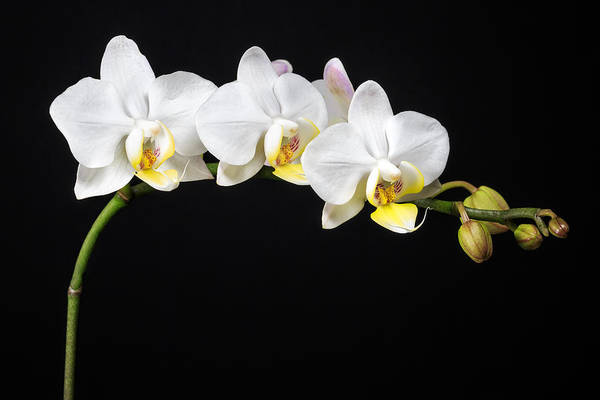 Floral Abstract Photograph - White Orchids by Adam Romanowicz