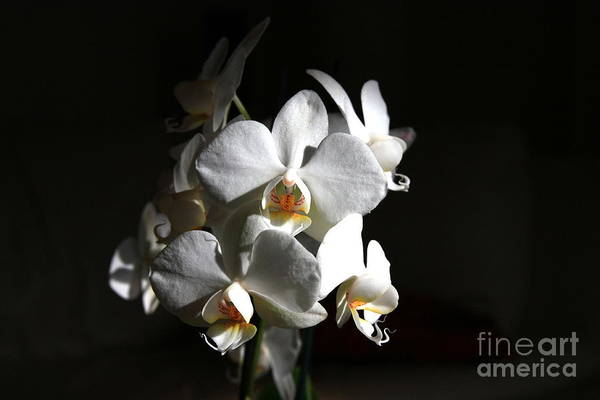 Photograph - White Orchids by Jeremy Hayden