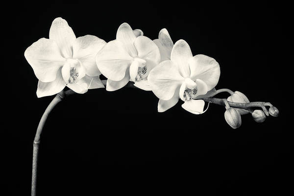 Horticulture Photograph - White Orchids Monochrome by Adam Romanowicz