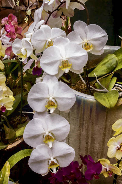 Digital Art - White Orchids by Photographic Art by Russel Ray Photos