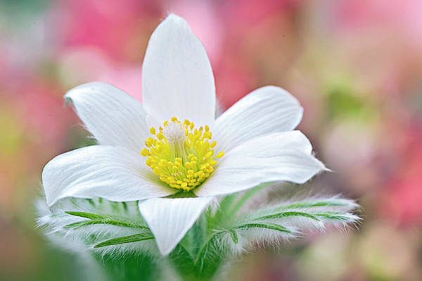 Single Leaf Wall Art - Photograph - White Pasque Flower by Jacky Parker Photography
