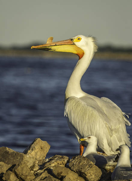 Wall Art - Photograph - White Pelican And Pals by Thomas Young