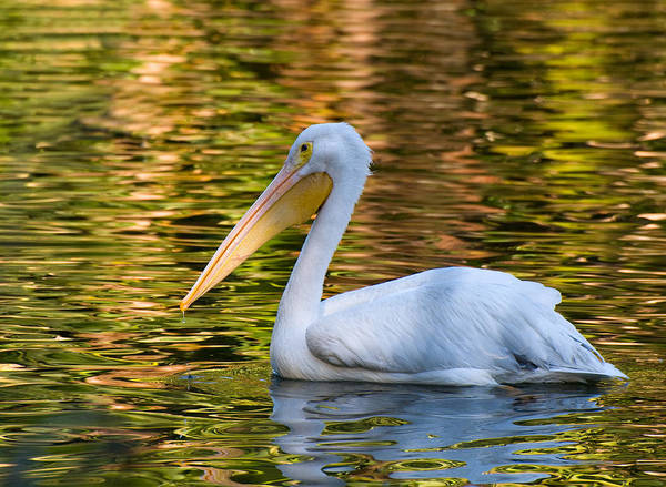 Photograph - White Pelican by Ginger Wakem