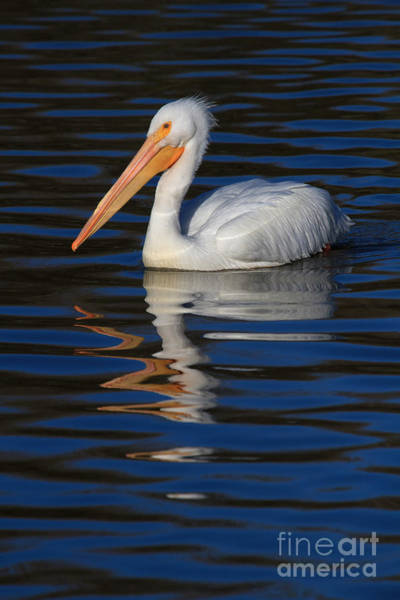 Photograph - White Pelican On Blue by Beth Sargent