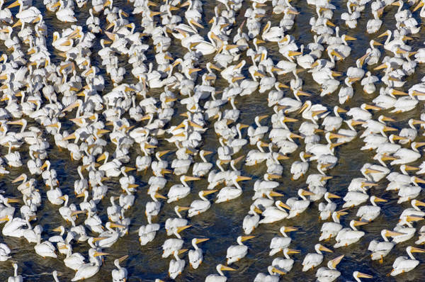Photograph - White Pelican Party by Patrick M Lynch