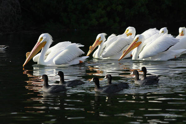 Photograph - White Pelicans And Coots by Diana Haronis