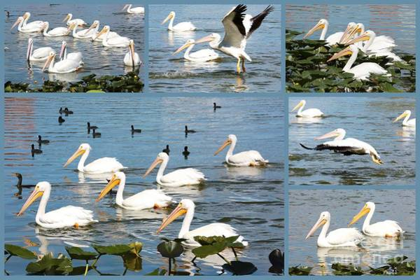 Photograph - White Pelicans Collage by Carol Groenen