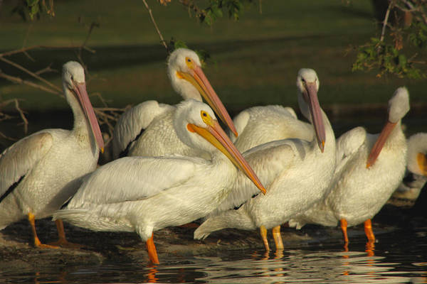 Photograph - White Pelicans by Diana Haronis