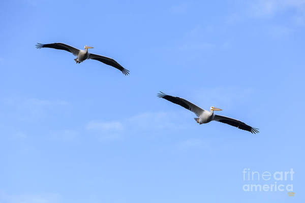 Photograph - White Pelicans Flying by David Millenheft