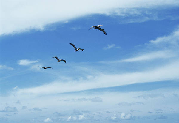 American White Pelican Wall Art - Photograph - White Pelicans In Flight by Sally Mccrae Kuyper/science Photo Library