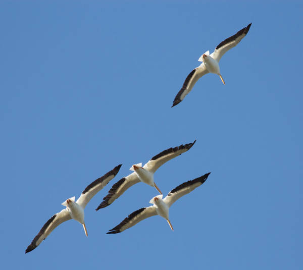 Photograph - White Pelicans In Formation by Richard Goldman