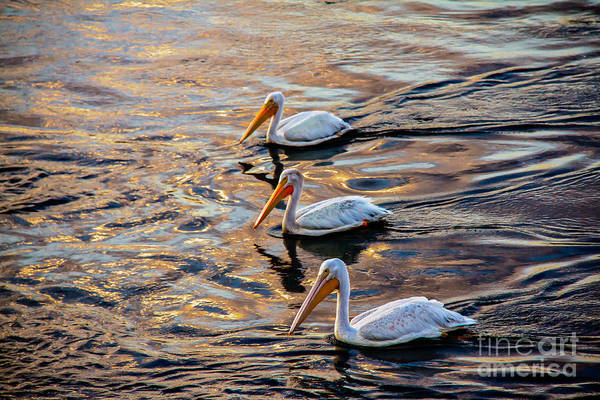American White Pelican Wall Art - Photograph - White Pelicans  In Golden Water by Robert Bales