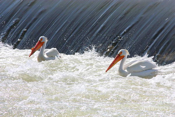 Photograph - White Pelicans In Washington State by Carol Groenen