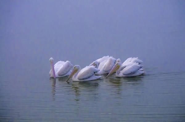 Blye Photograph - White Pelicans by Kenneth Blye