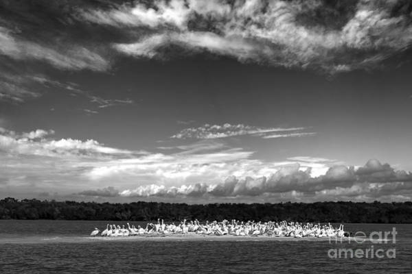 Photograph - White Pelicans On Island In The Everglades by Dan Friend