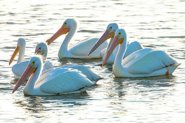 Bulrush Wall Art - Photograph - White Pelicans, Pelecanus by Maresa Pryor
