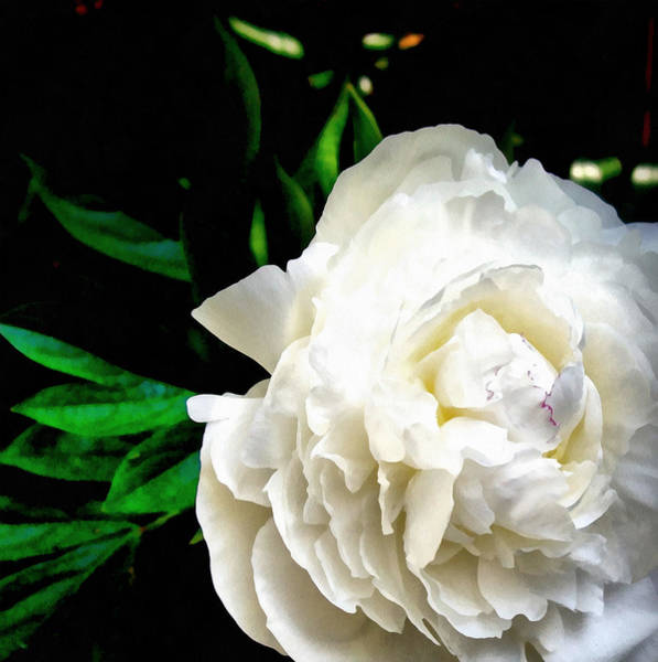 Photograph - White Peony by Michelle Calkins