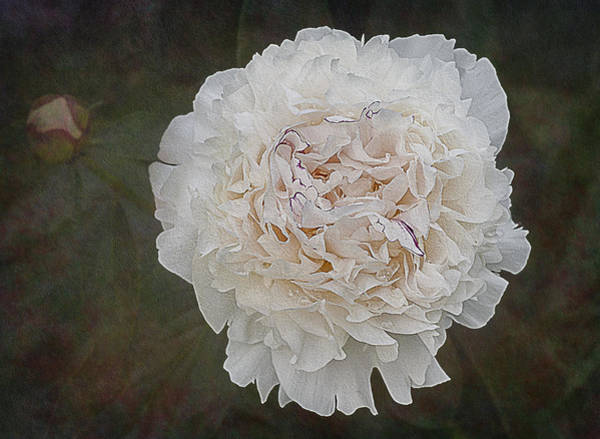 Photograph - White Peony by Susan Candelario