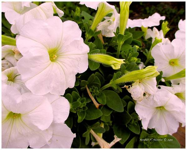 Photograph - White Petunia Rush by Kendall Kessler