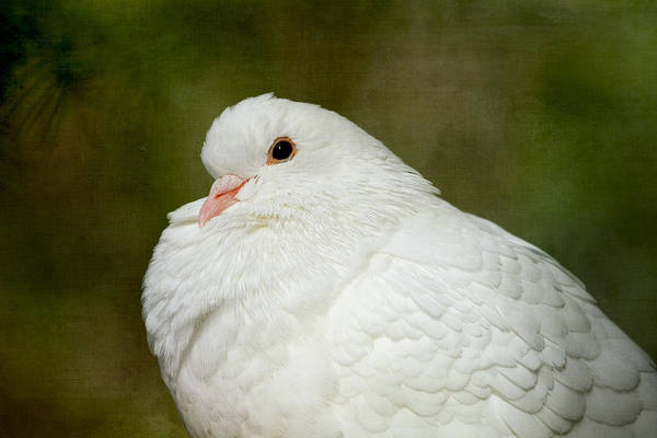 Photograph - White Pigeon by Peggy Collins