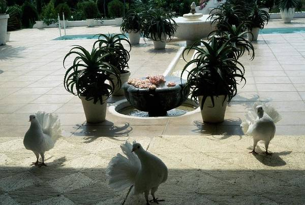 Tile Floor Photograph - White Pigeons by Raymundo De Larrain