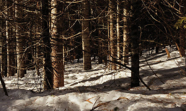 Pine Grove Photograph - White Pine Grove by Susan Capuano