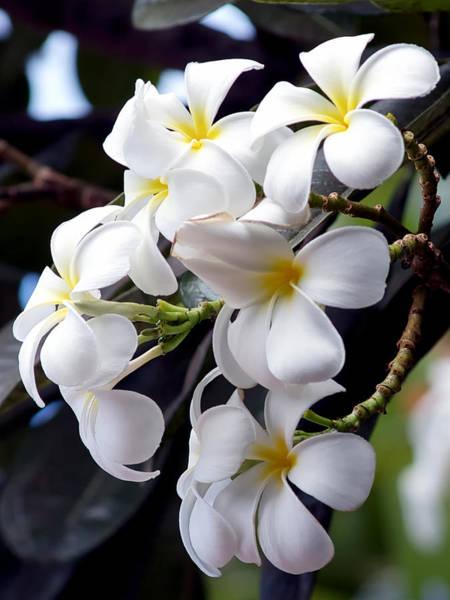Photograph - White Plumeria by Trever Miller