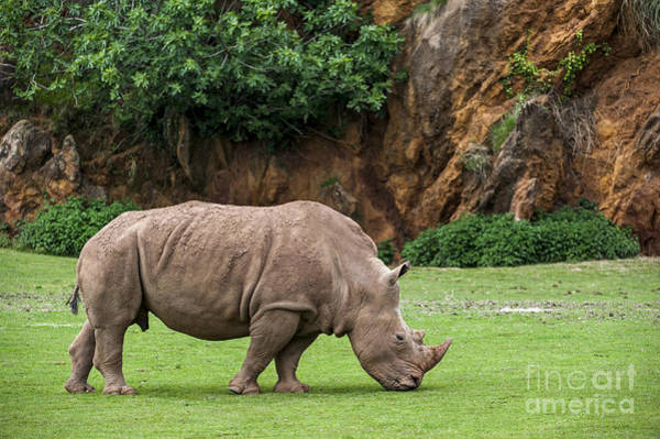 Photograph - White Rhino 10 by Arterra Picture Library