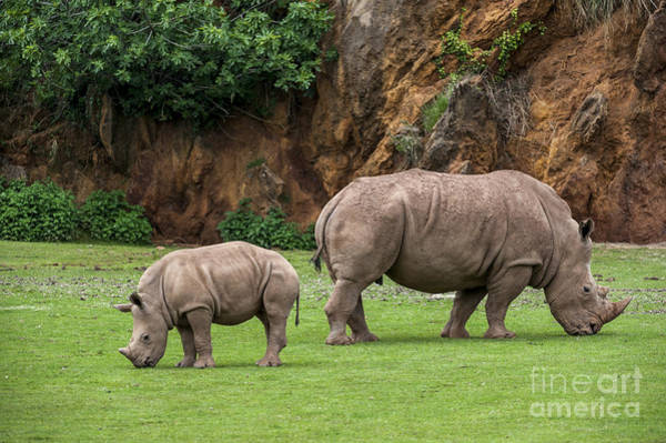 Photograph - White Rhino 11 by Arterra Picture Library