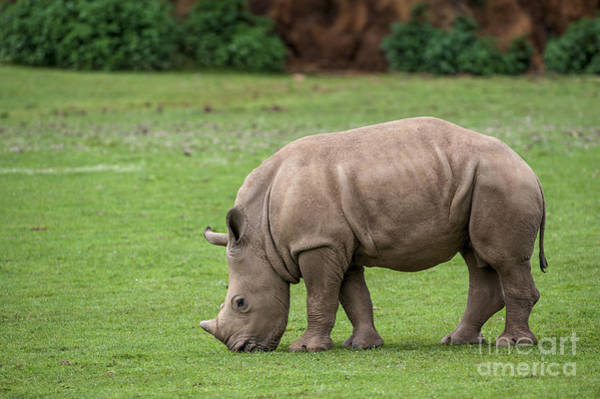 Photograph - White Rhino 12 by Arterra Picture Library