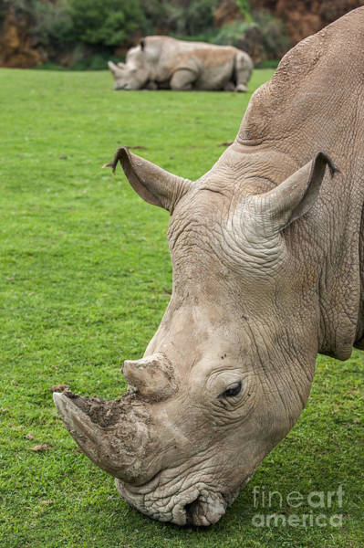 Photograph - White Rhino 15 by Arterra Picture Library