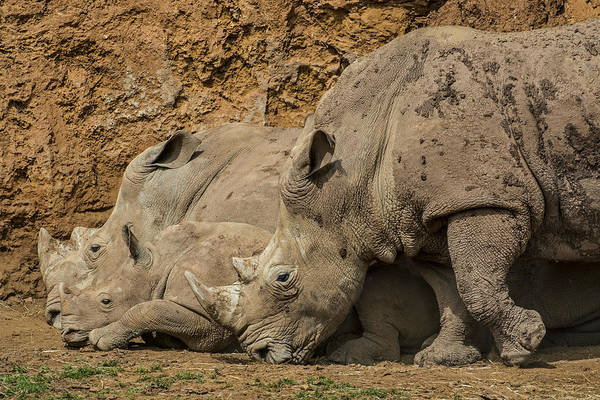 Photograph - White Rhino 2 by Arterra Picture Library