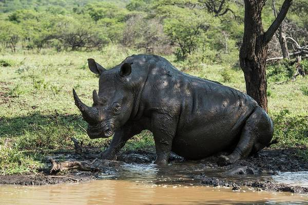 Wall Art - Photograph - White Rhino Bull Wallowing by Peter Chadwick/science Photo Library