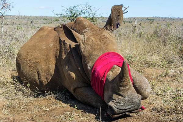 Rhinoceros Photograph - White Rhino Conservation Operation by Peter Chadwick