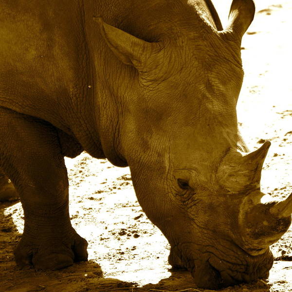 Photograph - White Rhino In Sepia by AnnaJo Vahle