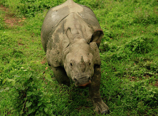 Wall Art - Photograph - White Rhinoceros Browsing In Chitwan by Johnathan Ampersand Esper