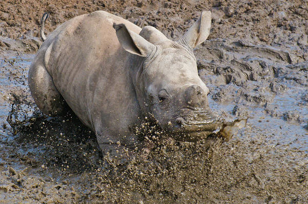 Rhinoceros Photograph - White Rhinoceros Calf by Peter Chadwick