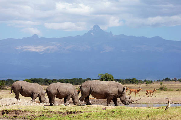 Nature Conservancy Photograph - White Rhinoceros Ceratotherium Simum At by Martin Harvey