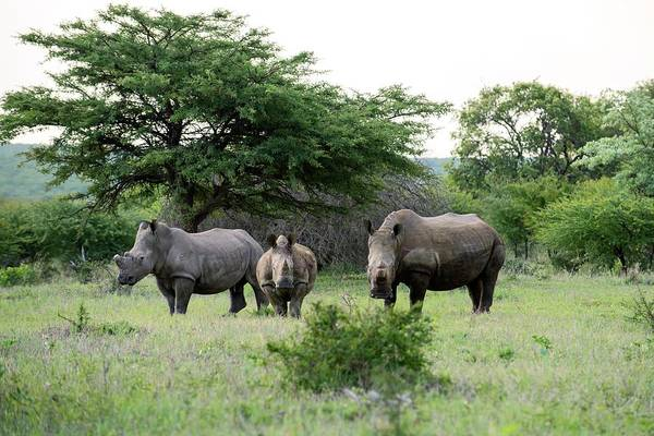 Rhinoceros Photograph - White Rhinoceros With Two Calves by Louise Murray/science Photo Library