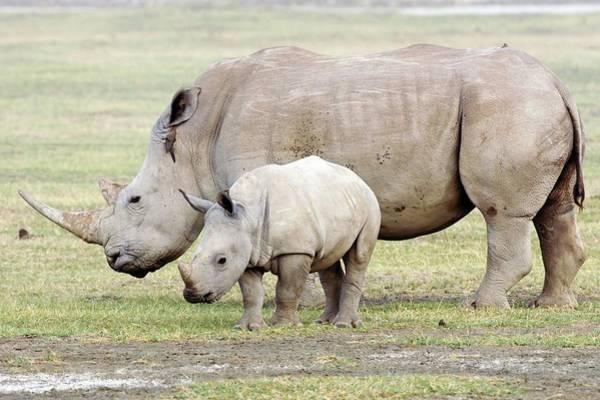 Rhinoceros Photograph - White Rhinoceroses by John Devries/science Photo Library
