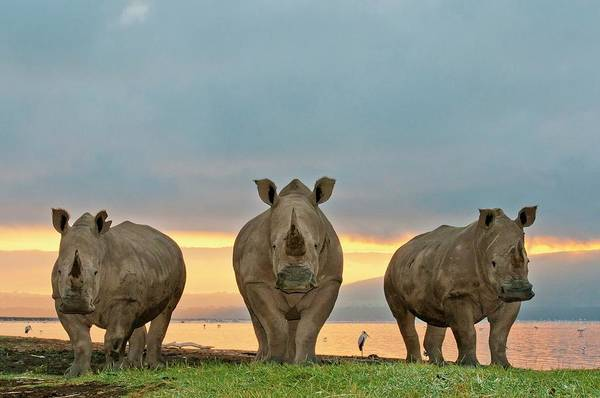 Rhinoceros Photograph - White Rhinoceroses by Peter Chadwick/science Photo Library